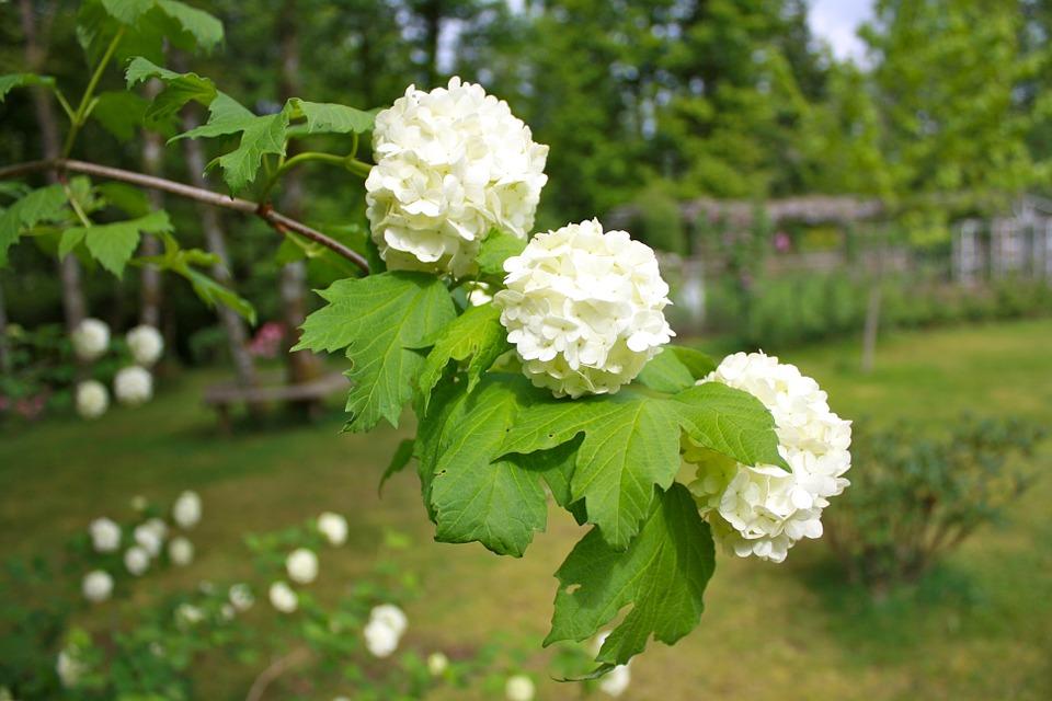 калина цветет весной в саду