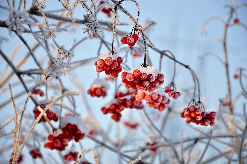 ягоды калины на морозе