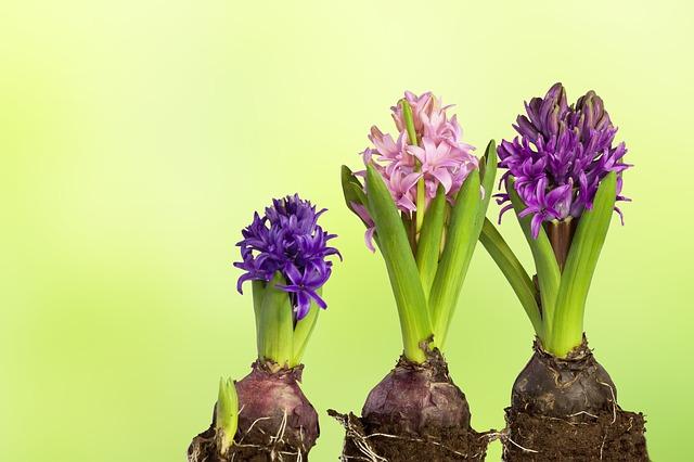 гиацинт, выращивание, удобрение