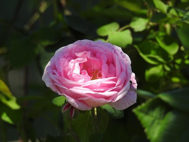 народные методы, лечение, простуда, чайная роза