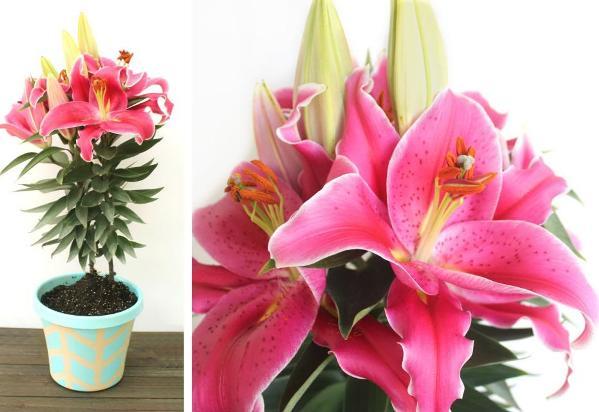 выращиваем лилии дома