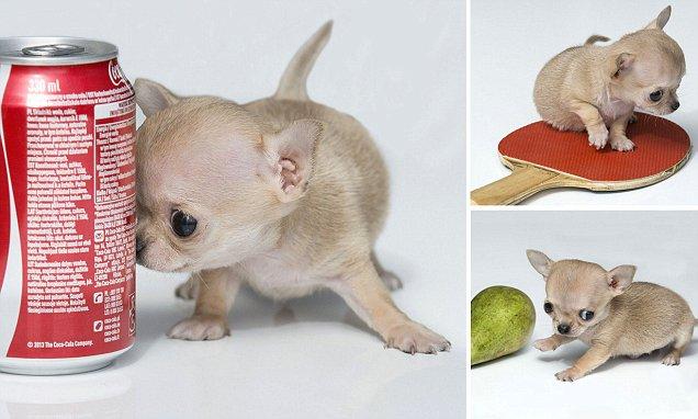 самая маленькая собака