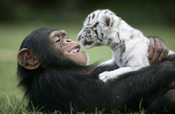 обезьяна и тигренок обнимаются