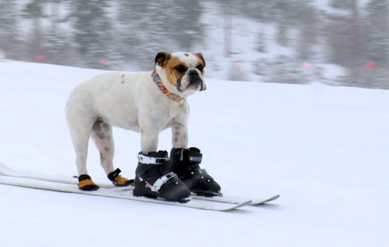 лыжи,зима, сабака на лыжах