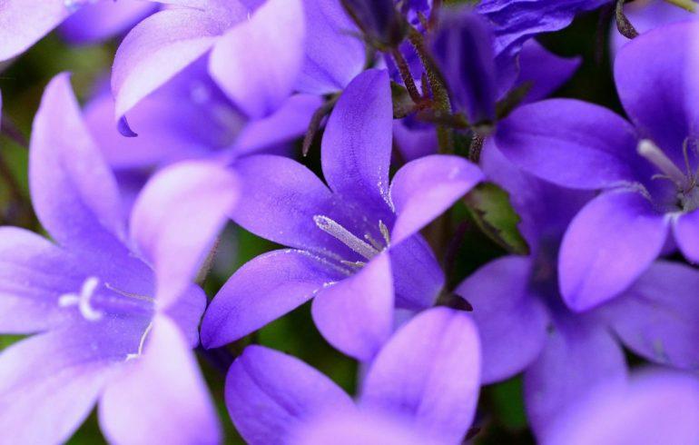 цветы, как вырастить колокольчик, особенности ухода
