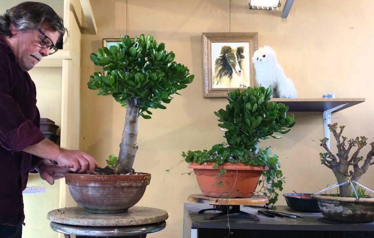 Крассула, или денежное дерево