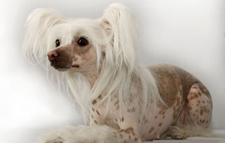 щенок голой китайской породы