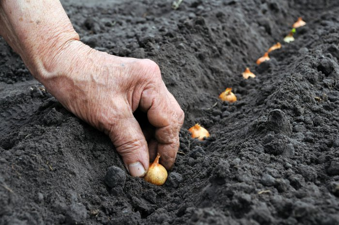 как правильно сажать лук