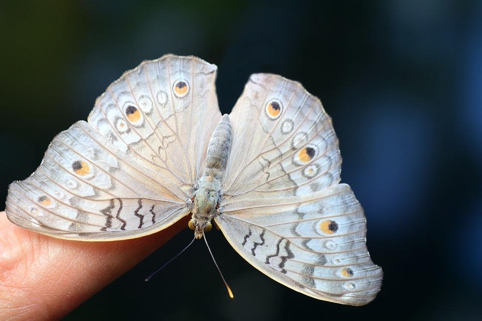 большая белая бабочка на пальце человека