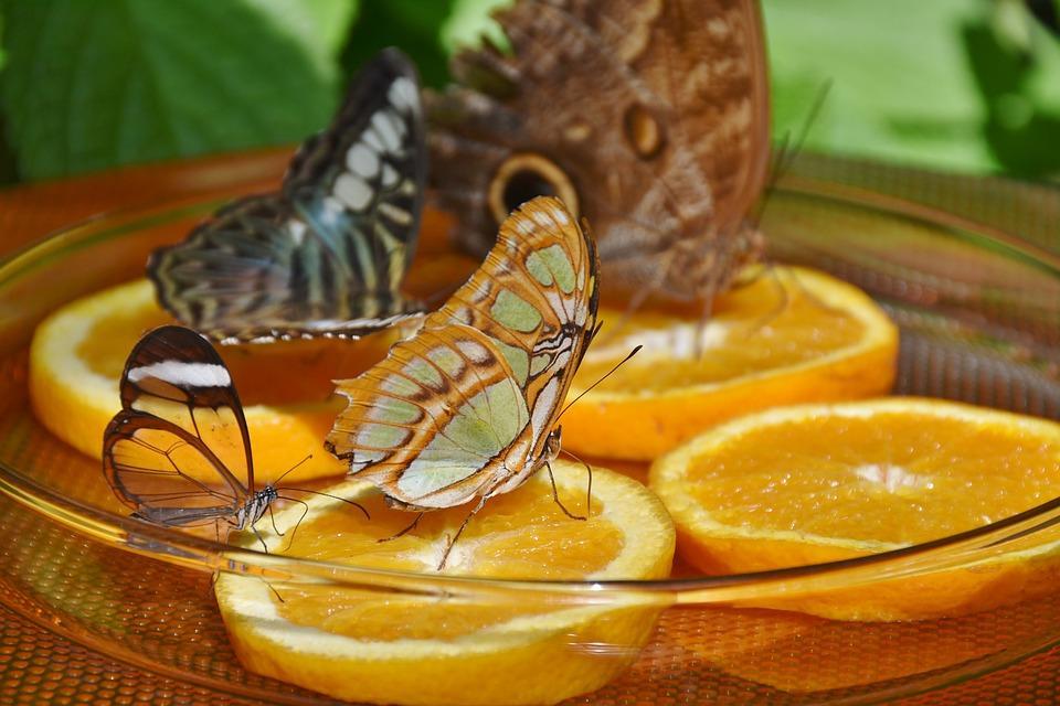 еда для бабочек доме