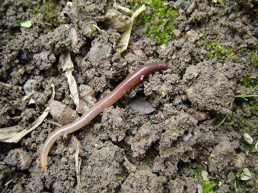 дождевой червяк