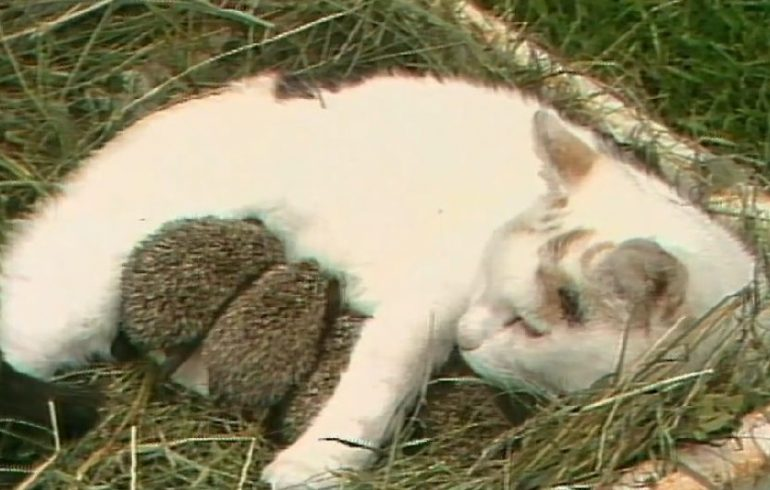 кошка кормит ежат