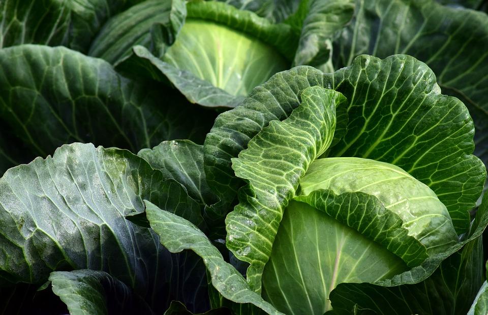 зеленые кочаны капусты