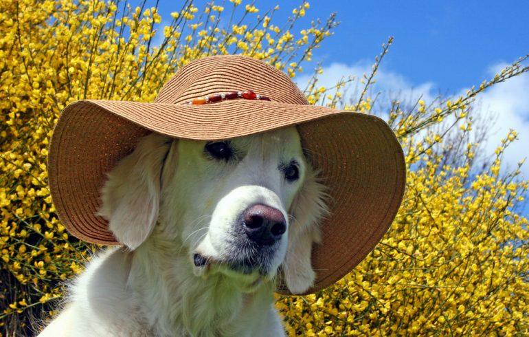 пес в шляпе