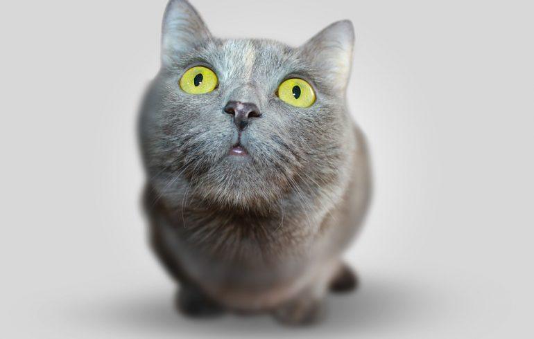 удивленный серый кот