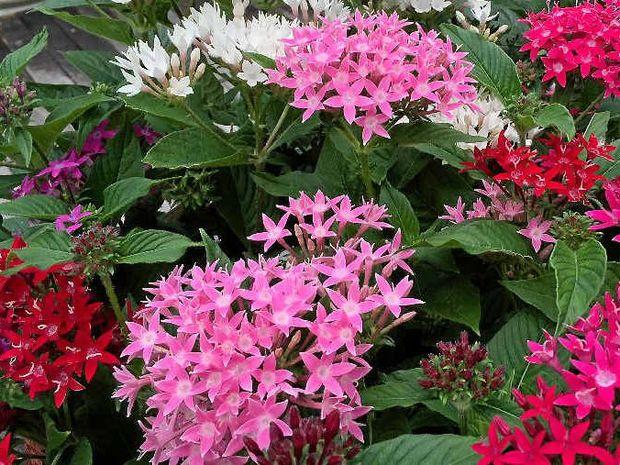 цветок пентас