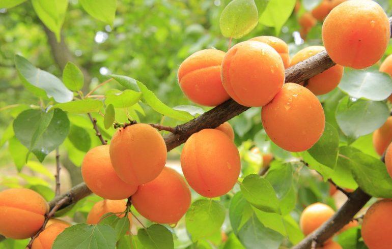 абрикос, дерево, прививка,