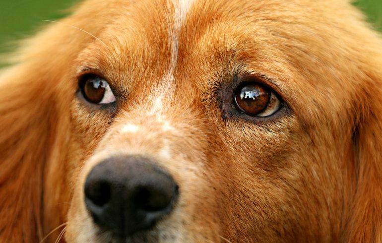 собака, слезы, глаза
