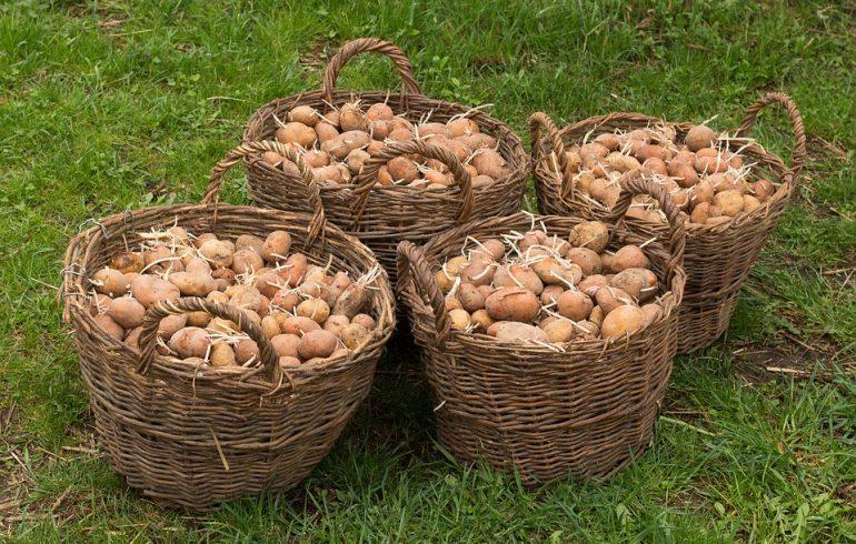 колорадский жук, картошка