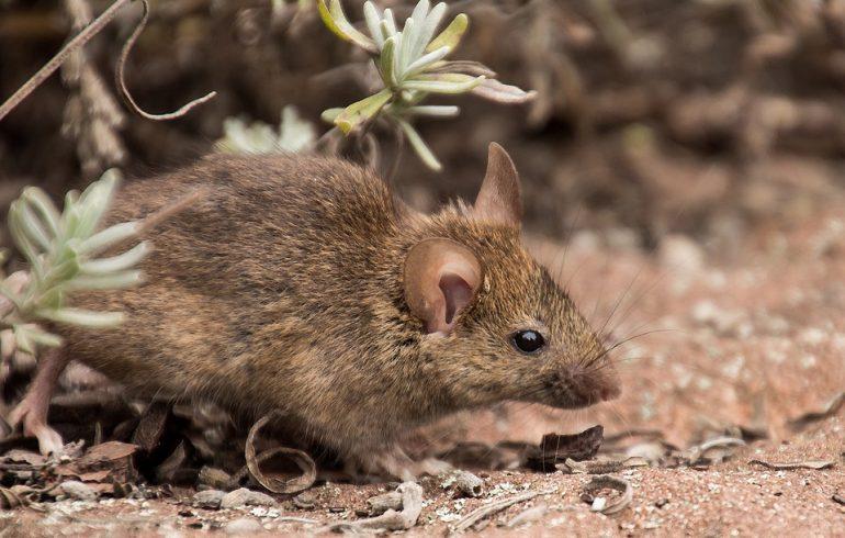 мышь, кроты, вредители