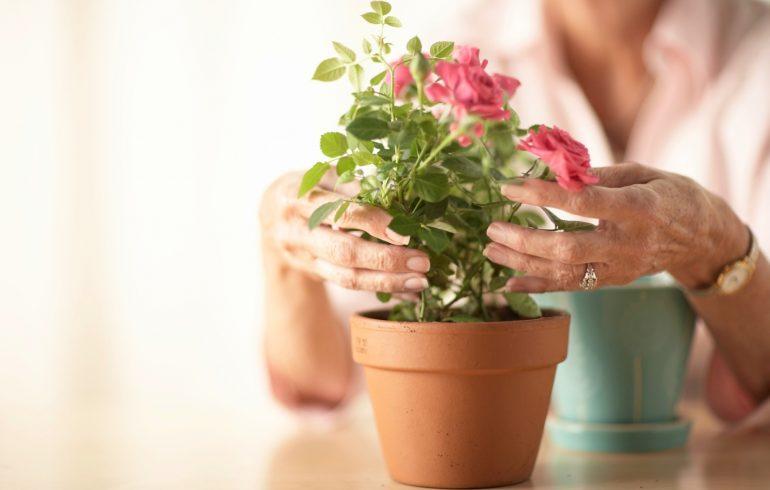 Как часто нужно пересаживать розу