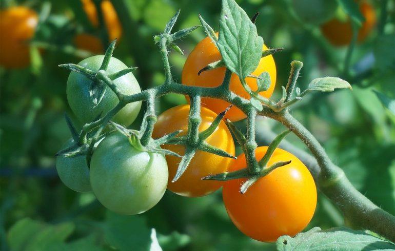 Как бороться с фитофторозом томатов