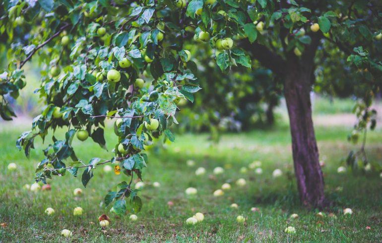 Что делать с падалицей в саду