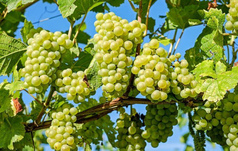 Как правильно собирать и хранить виноград
