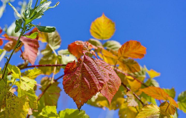 обрезка, крыжовник, малина, ежевика, смородина, осень