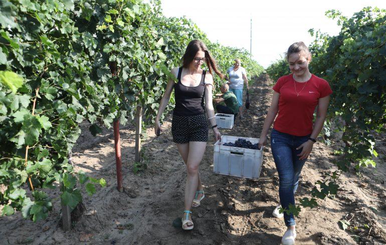 сбор винограда на винодельне Колонист