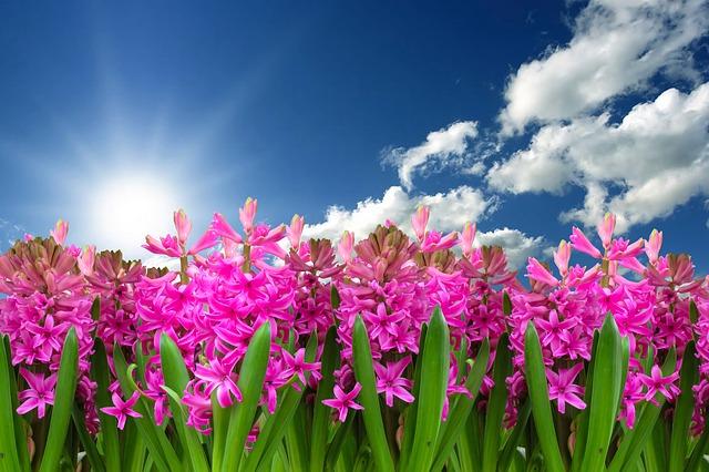 гиацинт, выращивание, уход