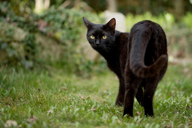 черный кот, праздник