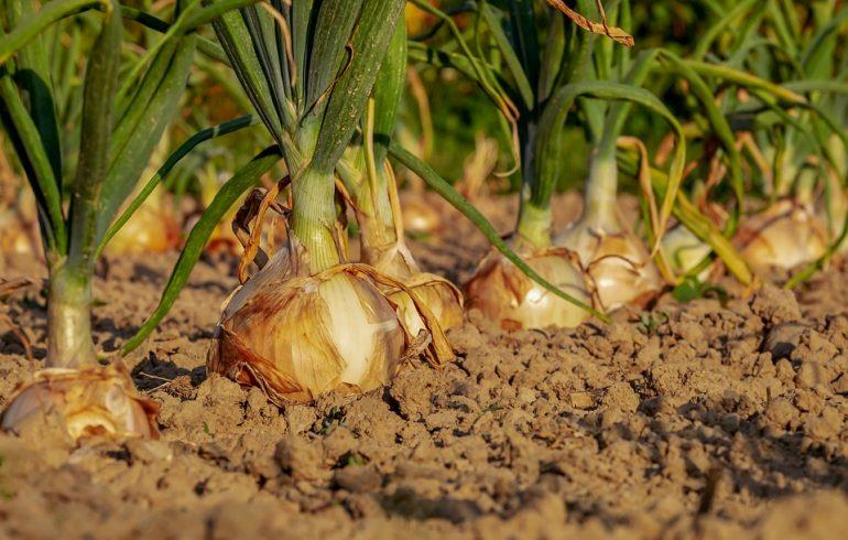 Как выращивать лук-репку из семян?