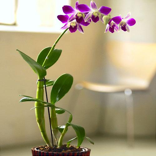 Дендробиум — один из наиболее богатых видами род орхидей