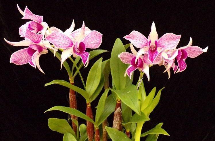 Как ухаживать за орхидеей дендробиум