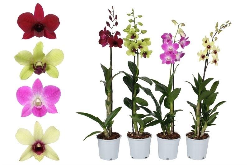 орххидеи дендробиум разных цветов