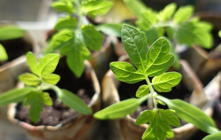 Как укрепить корни рассады
