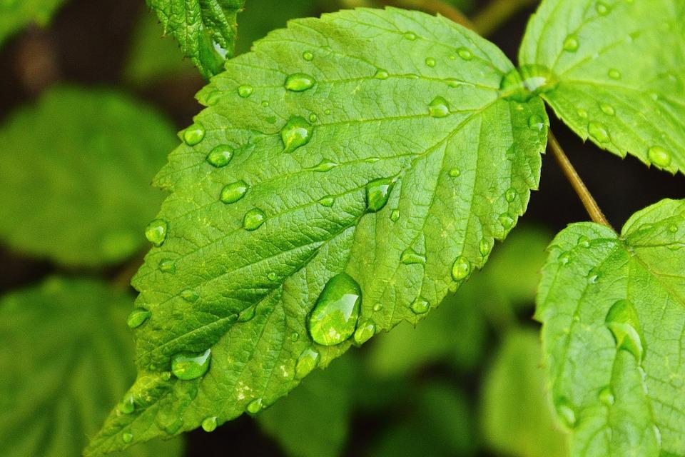 капельки воды на листах малины