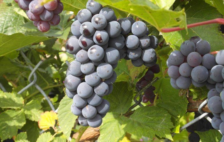 Как правильно вырастить виноград в саду