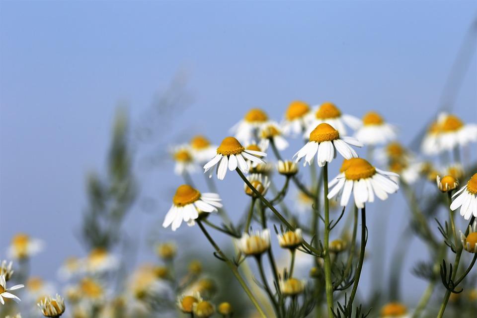 ромашка растет на поле летом