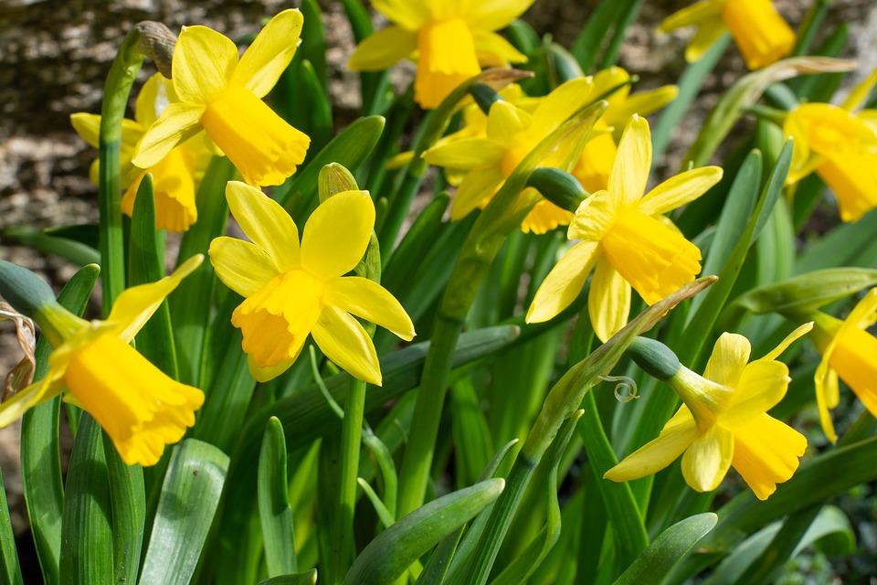 желтые нарциссы в период цветения
