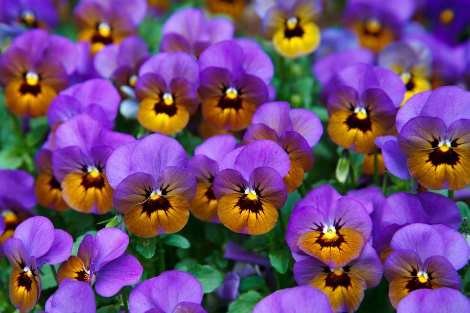 цветок виола на клумбе