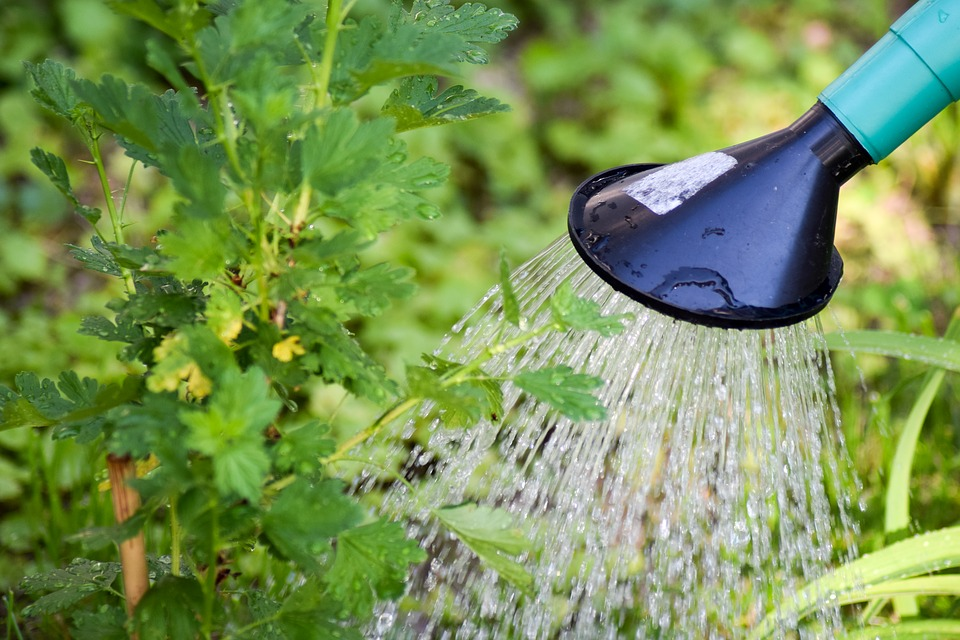 растения поливают из лейки