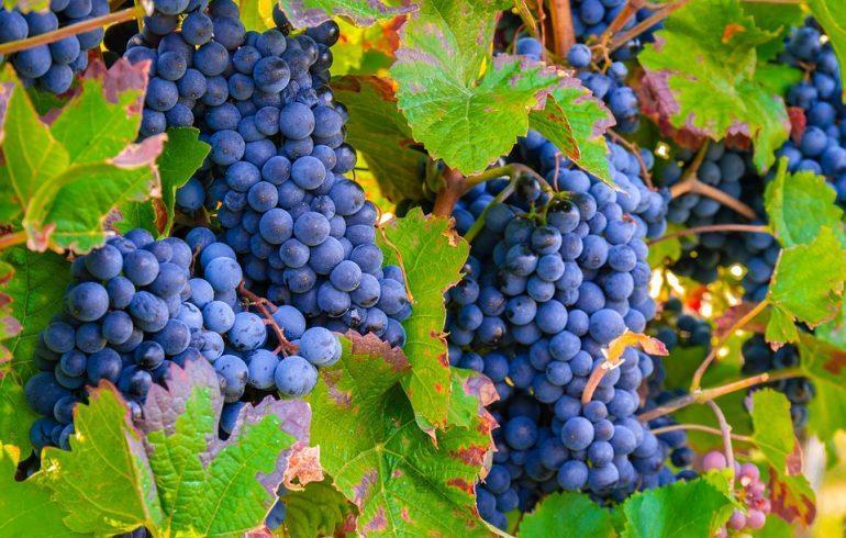 Как побороть оидиум винограда