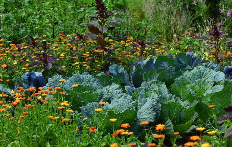 Как защитить капусту от вредной гусеницы