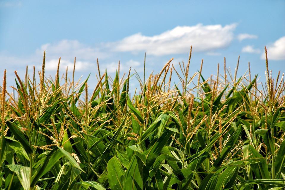 на поле растет кукуруза