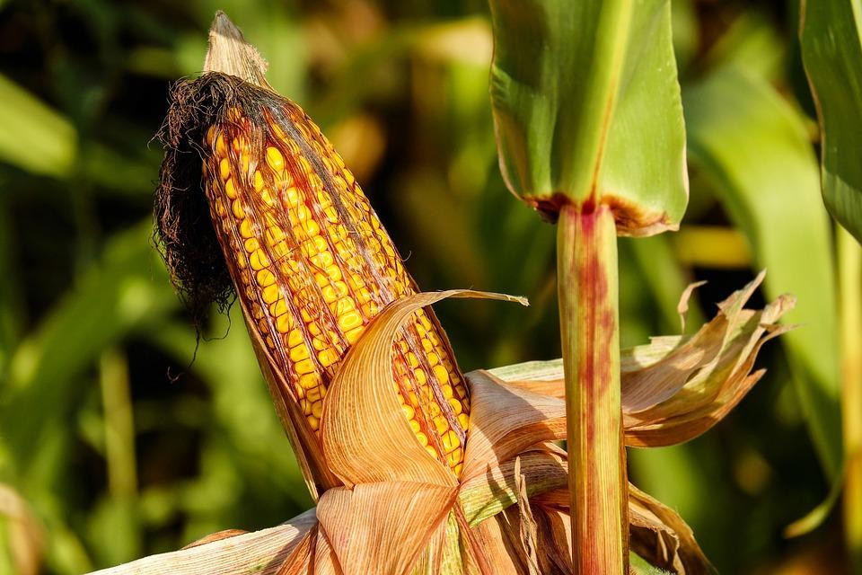 урожай кукурузы на участке