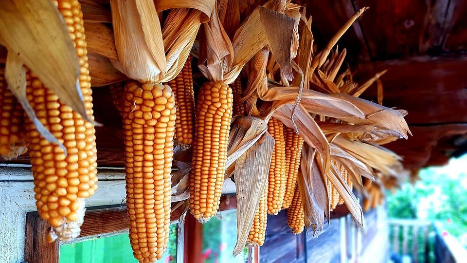 кукуруза висит на окне