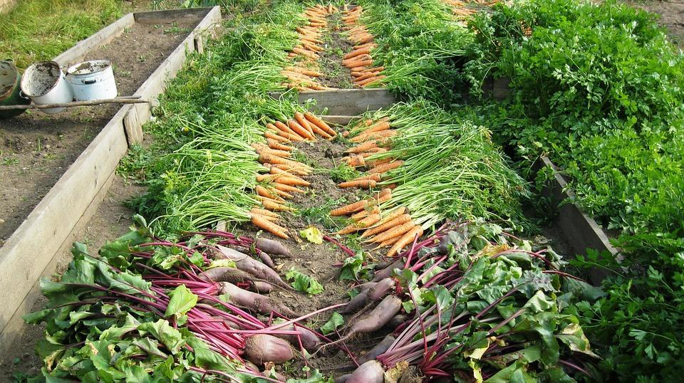 урожай моркови и свеклы на грядках
