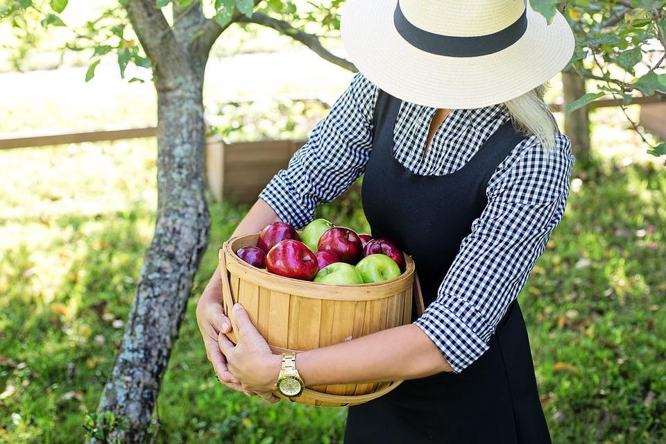 сбор яблок в саду